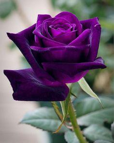 Beautiful Rose Flowers, Exotic Flowers, Amazing Flowers, Purple Flowers, Beautiful Flowers, Rose Reference, Rainbow Roses, Purple Love, Rose Photography