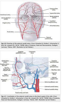 Risultati immagini per lip vascular anatomy Botox Results, Facial Esthetics, Facial Room, Facial Anatomy, Dental Anatomy, Dental Life, Botox Fillers, Nursing Notes, Medical Illustration