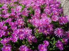 Ice Plant Pink Table Mountain seeds can be started indoors weeks before last frost. Types Of Ice, Types Of Soil, Perennial Flowering Plants, Perennials, Succulent Soil, Succulents, Deer Proof Plants, Delosperma Cooperi, Desert Colors