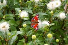 Cephalanthus occidentalis is an excellent shrub for beautiful flowers that attract butterflies and bees to the garden and is available from Big Plant Nursery Little Flowers, White Flowers, Beautiful Flowers, Flowers That Attract Butterflies, Little Planet, Big Plants, Plant Nursery, Late Summer, Shrubs