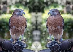 Red Shouldered Hawk at the McGough Nature Center