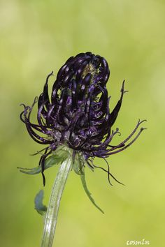Phyteuma vagneri. As far as I know, you can't buy seeds for this species, at least not in the US. What a beautiful black alpine flower.