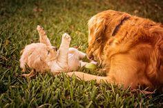 犬の種類別、性格「ゴールデン・レトリーバー」 http://inunoshitukedvd.blog.fc2.com/blog-entry-6.html #dog #犬 #犬のしつけ #犬の躾