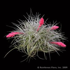 Houston (stricta X recurvifolia) Tillandsia Species Please Select Size RETAIL Status: 3 Select a Size  Tillandsia Houston is one of the most popular Tillandsias because it has such a spectacularly colorful bloom. It also grows much larger than either of its parents, T. stricta and T. recurvifolia.