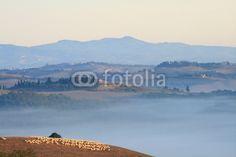 Schafherde Schafe Hügellandschaft der Toskana im Morgennebel Crete Val d' Orcia Pienza