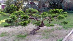 original authentic japanese pruning niwaki clouds pruning clouds tree