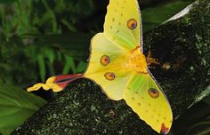 MADAGASCAR MOON MOTH or COMET MOTH (Argema mittrei)    ©Butterflyworld.com    The Comet moth or Madagascan moon moth is an African moth, native to the rain forests of Madagascar. The male has a wingspan of twenty centimeters and a tail span of fifteen centimeters, making it one of the world's largest silk moths.