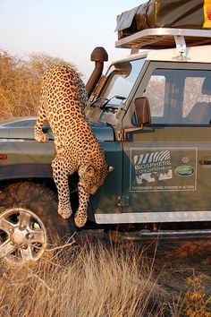 Namibia; helping leopards and cheetahs.