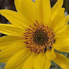 Everwilde Farms - 150 Arrowleaf Balsamroot Native Wildflower Seeds - Gold Vault Jumbo Seed Packet >>> Insider's special review you can't miss. Read more  : Gardening Flowers