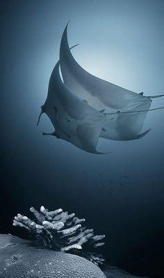 manta rays - takes your breath away