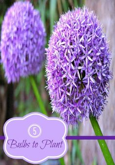Are you planning on planting bulbs this Fall and not sure which ones to buy? Here are 5 bulbs that should be in every garden!