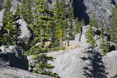 On the way back to Lake Louise we saw lots of wild life. Here two mountain goats sunning themselves and chewing their cud. Mountain Goats, The Way Back, Alberta Canada, Wild Life, Calgary, Mount Rainier, Explore, Mountains, Travel