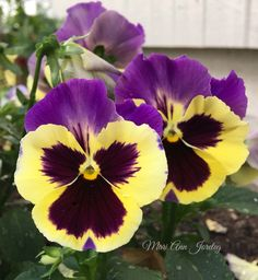 Black Yellow And Purple Flower Names, My Flower, Flower Power, Rare Flowers, Beautiful Flowers, Pansies, Daffodils, Pansy Tattoo, Lilies Of The Field