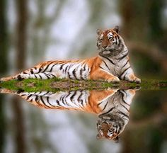 The Tiger's Purr