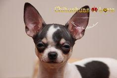 compañia de un perro chihuahua