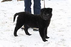 1/9/17 West Milford, NJ - Newfoundland/Border Collie Mix. Meet WILLIE, a puppy for adoption. http://www.adoptapet.com/pet/17359864-west-milford-new-jersey-newfoundland-mix