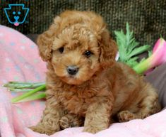 Louise | Maltipoo Puppy For Sale | Keystone Puppies