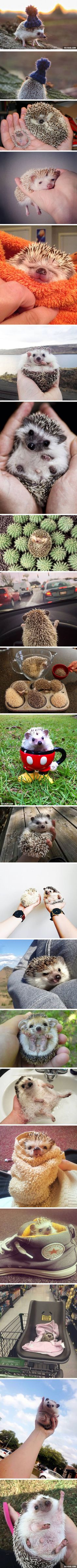 I start to fall in love with hedgehogs - 9GAG