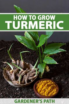 Turmeric is a pungent spice best known as a staple of Indian cooking. It's suited to cultivation in USDA Hardiness Zones 8 to 11, where it thrives in full sun and well-draining, organically-rich soil. Read on and learn to grow, harvest, and use this spice now on Gardener's Path. #turmeric #gardening #gardenerspath