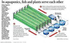Hydroponics Gardening fish tank hydroponic garden aquaponics system by pentair aquatic eco systems growing Aquaponics Greenhouse, Aquaponics Diy, Aquaponics System, Hydroponic Growing, Hydroponic Gardening, Organic Gardening, Agriculture, What Is Need, Urban Farming