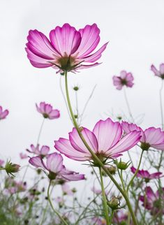 Wondering what flowers to buy as a birthday gift? Choosing the recipient's birth flowers is a great way to make it a more unusual and personal gift - this guide lists birth month flowers and their symbolism for each month of the year. Cosmos Plant, Cosmos Flowers, Flowers Nature, Beautiful Flowers Pictures, Pretty Flowers, Purple Flowers, Flower Images, Flower Pictures, Birth Month Flowers
