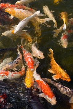 """Koi fish are the domesticated variety of common carp. Actually, the word """"koi"""" comes from the Japanese word that means """"carp"""". Outdoor koi ponds are relaxing. Koy Fish, Koi Painting, Fish Paintings, Fish Information, Goldfish Pond, Koi Art, Carpe Koi, Japanese Koi, Fish Ponds"""