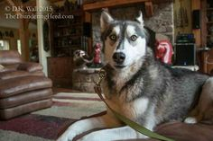 Typhoon is in pout time and we explain why. Plus we give a book recommendation. #dog #siberianhusky #husky