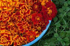 Aksamitka, strażniczka zdrowia – Zioła w Pełni Carrots, Salsa, Vegetables, Ethnic Recipes, Plants, Food, Searching, Essen, Carrot