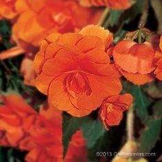 AmeriHybrid® Begonia Hanging Basket Orange - Calbegonias.com