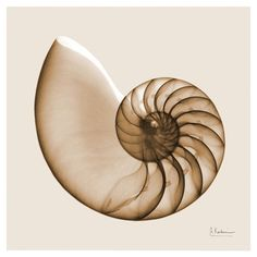 Nautilus Shell // biomimicry = inspiration from nature