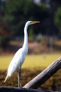 Great Heron -