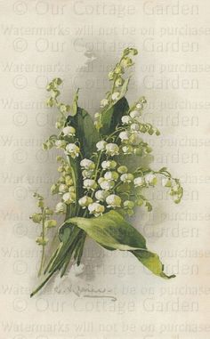 Lilies of the Valley...Catherine Klein