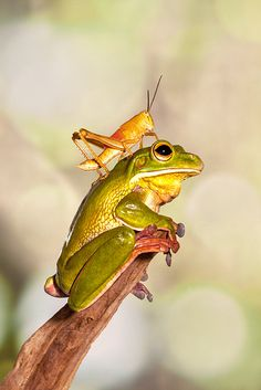 Grasshoper and Green Tree Frog. Bokeh photography