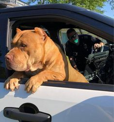 Uplifting So You Want A American Pit Bull Terrier Ideas. Fabulous So You Want A American Pit Bull Terrier Ideas. Rottweiler Training, Pitbull Pictures, Dog Pictures, Dog Shaming, Mundo Animal, Bull Terrier Dog, Dogs Of The World, Training Your Dog, Big Dogs