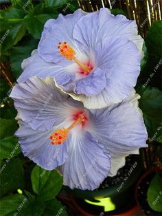 100 giant seeds of hardy hibiscus flower ,24 kind color ,Housing pot garden or backyard flower plant Free Shipping