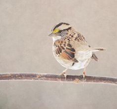 White Throated Sparrow Photograph by Deena Stoddard - White Throated Sparrow Fine Art Prints and Posters for Sale fineartamerica.com