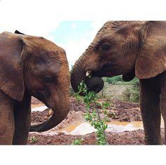 April 7, 2015: Elephants graze at the David Sheldrick Elephant Sancturary in Nairobi, Kenya. Photo by Mark Visser