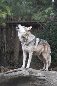 Wolf Howls http://stella-stroy-dv.ru