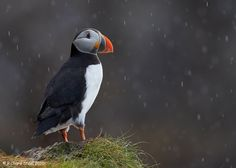 A Norwegian Puffin in a summer rain shower inside the Arctic Circle - Photo by Richard Steel
