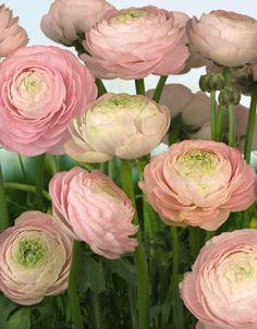 Komar Mural - Gentle Rose - 8-894