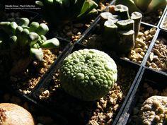 Cláudio Graça - Plant Collection Pseudolithos migiurtinus http://www.pinterest.com/claudiograca Succulents