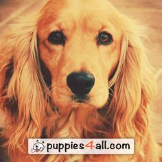 Find your dog on our site: http://puppies4all.com/ #dog #cute #puppy