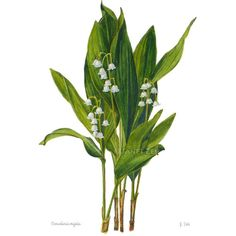 Lily of the Valley Botanical Print Convallaria majalis Floral Wall Art by Janet Zeh