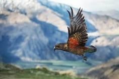 The kea is a large species of parrot of the family Strigopidae found in forested and alpine regions of the South Island of New Zealand. This picture of cheeky kea was taken in Treble Cone during my working stay in ski field. Amazing Photography, Travel Photography, New Zealand Landscape, Mood Images, South Island, Natural Phenomena, Reference Images, National Geographic Photos, Surface Pattern Design
