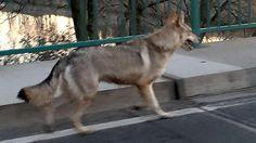 Der falsche Wolf von Pegau: BILD-Leser Lukas Petzold (19) hatte ihn auf einem seiner Streifzüge mit der Kamera erwischt