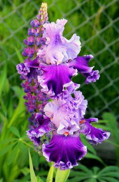 Stunning bearded iris, lupine combination