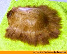 El conejillo de indias que odiarán todas las mujeres por que tiene el pelo más bonito que ellas.
