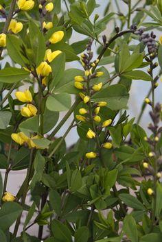 Decadence Lemon Meringue Baptisia