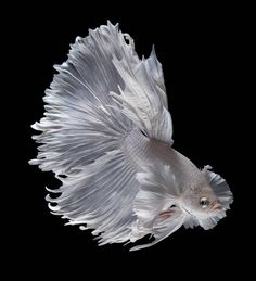 Common Betta Fish Diseases - Betta Fish Care - A Betta Fish Must Read! Colorful Fish, Tropical Fish, Freshwater Aquarium, Aquarium Fish, Beautiful Creatures, Animals Beautiful, Fish Wallpaper, Arte Obscura, Beta Fish