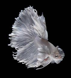 Este pez es un verdadero Cuento de hadas